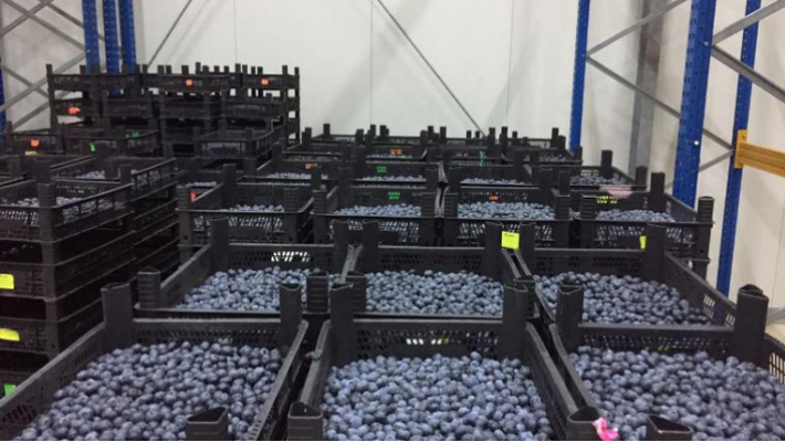 Blueberry company is set to export 60 t of berries