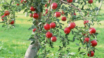 Imported apples in Georgia will be replaced with local