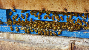 What's Killing Russia's Honey Bees?